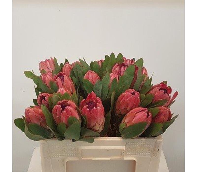 5 Protea Silva (Rot)