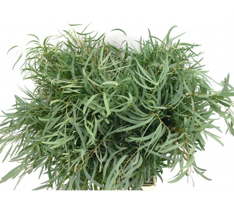 1 Bund Eukalyptus Nicolii