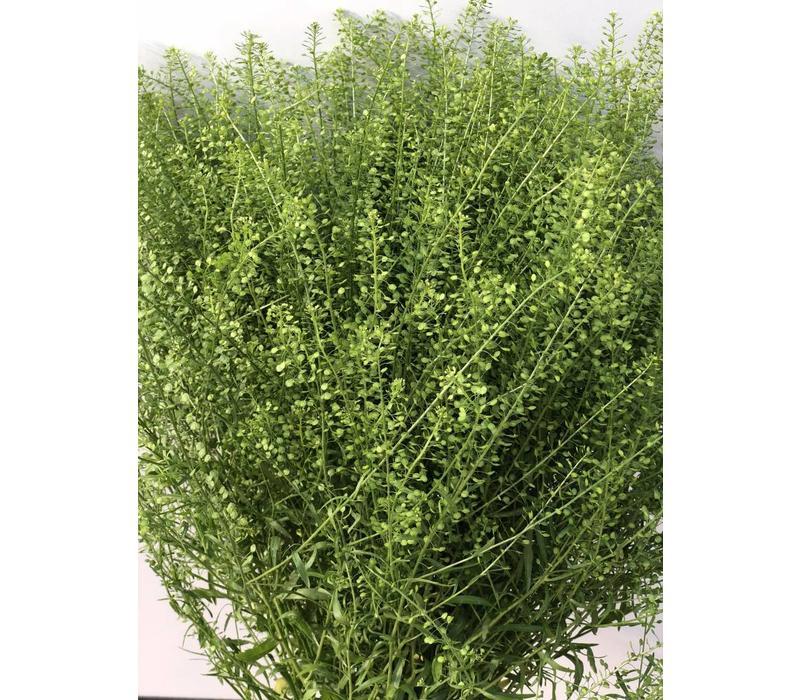 5 Lepidium Green Bell