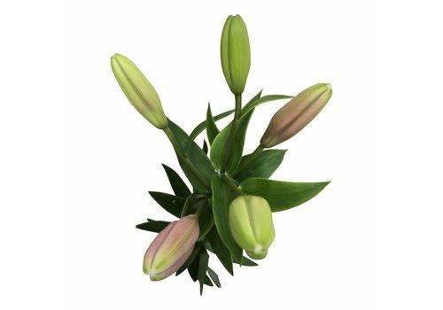 10 Lilien Brindisi