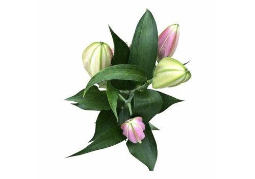 10 Lilien Pico