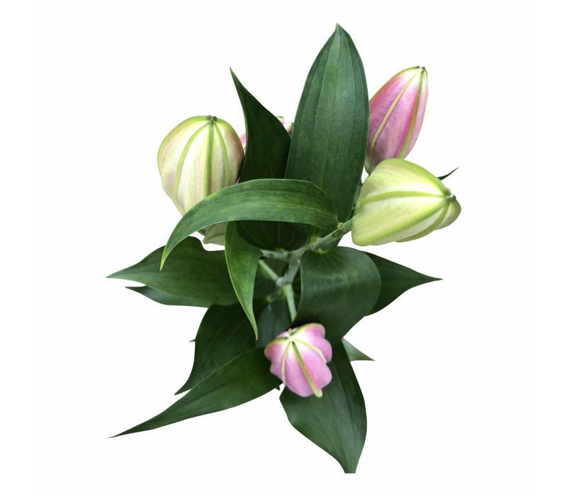 10 Lilien Pico (Dunkel-Rosa)