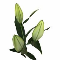 10 Lilien Santander Verzweigt (Weiß)