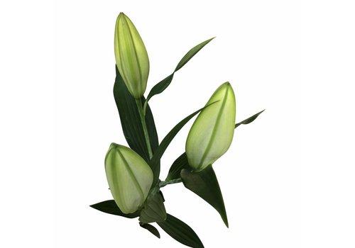 10 Lilien  Santander