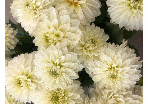 10 Dahlien Weiß Snow Cap