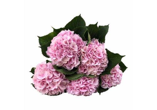 5 Hortensien Rosa