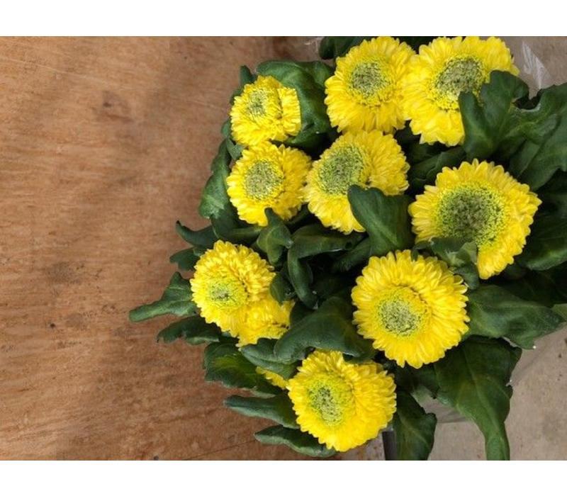 10 Deko Chrysanthemen  Boris Becker (Gelb)
