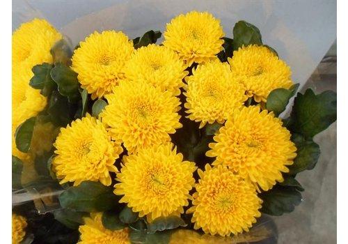 10 Deko Chrysanthemen  Migoli (Gelb)