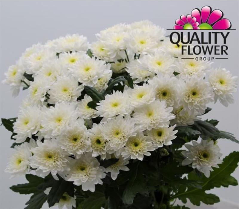5 Chrysanthemen Euro (Weiß)