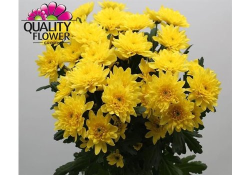 5 Chrysanthemen Euro Sunny (Gelb)
