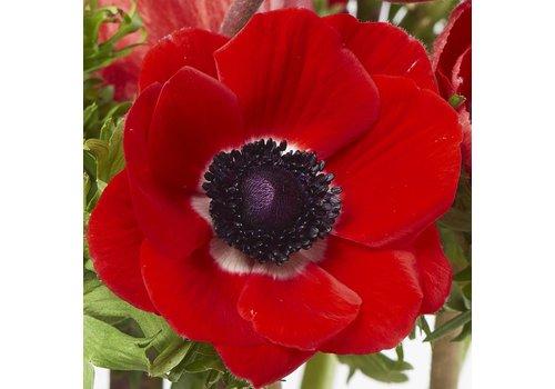 10 Anemonen Galil Rot