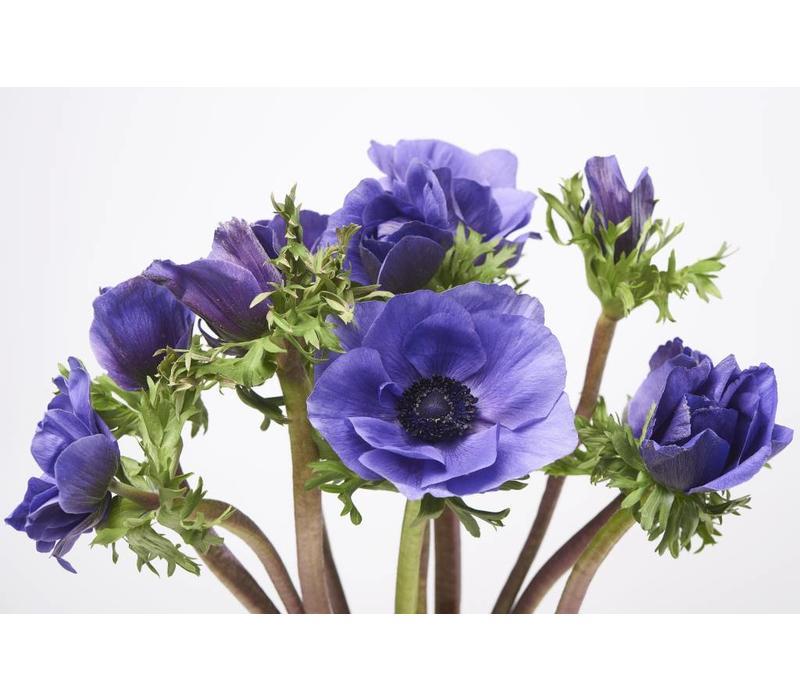 10 Anemonen Galil Blau