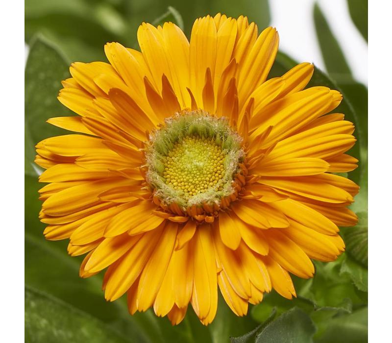 10 Calendula Orange