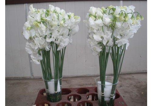 10 Wicken Winter Sunshine White  (Weiß)
