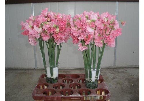 10 Wicken Winter Sunshine Pink