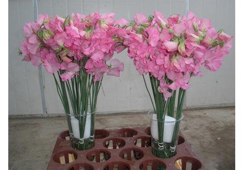 10 Wicken Winter Sunshine Rose