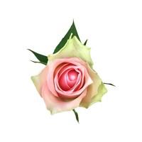 100 Rosen Rosa Belle Rose