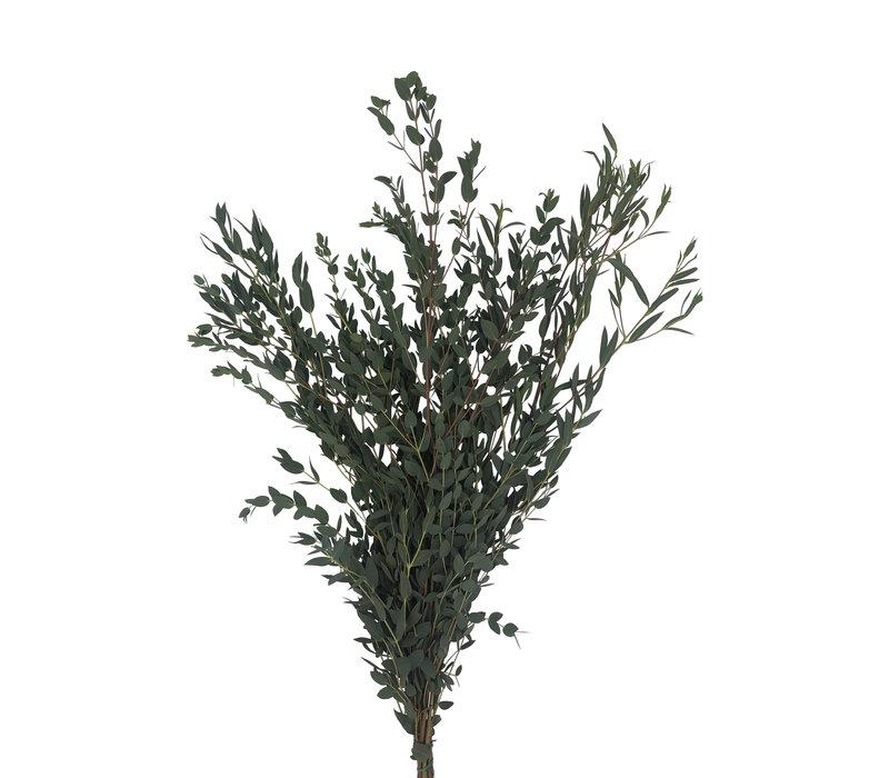 1 Bund Eukalyptus Parvifolia