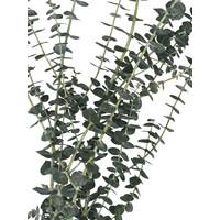 1 Bund Eukalyptus Baby Blue