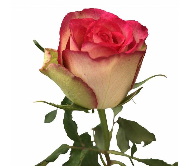 100 Rosen Glow (Creme Pink)