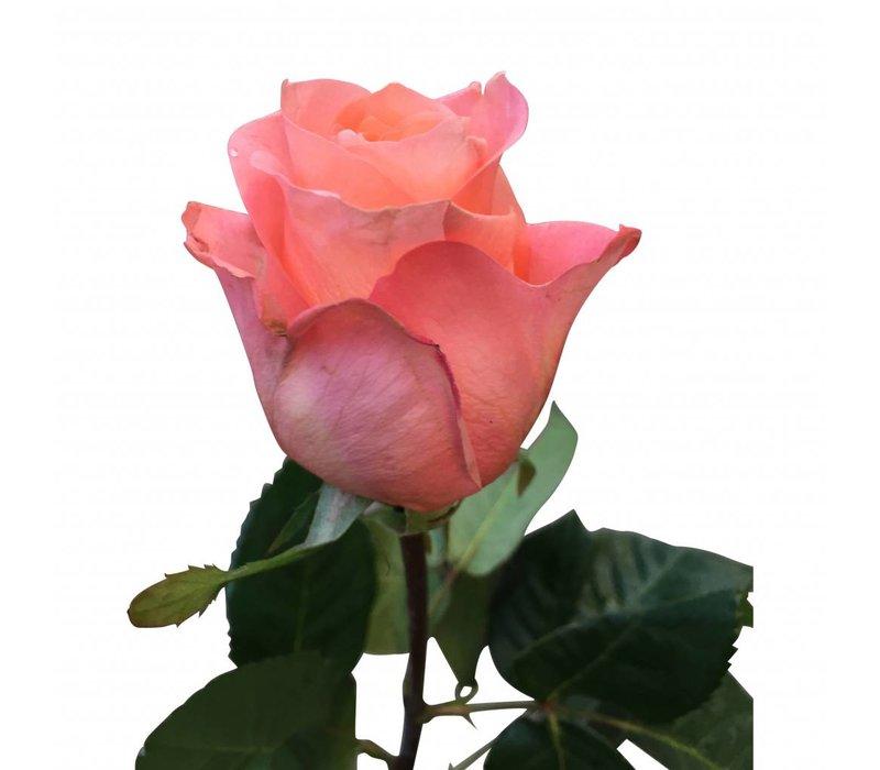 100 Rosen Lady Margaret (Lachs)