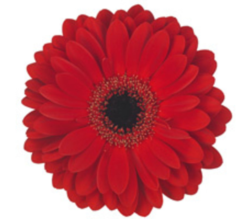 25 Gerbera Ladiesfirst (Rot)