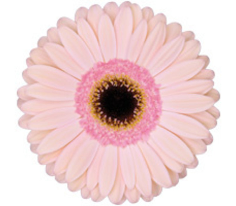 25 Gerbera Alliance (Zart Rosa)