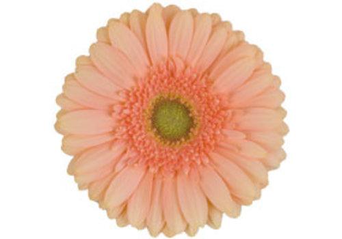25 Gerbera Pre-Extase (Apricot)