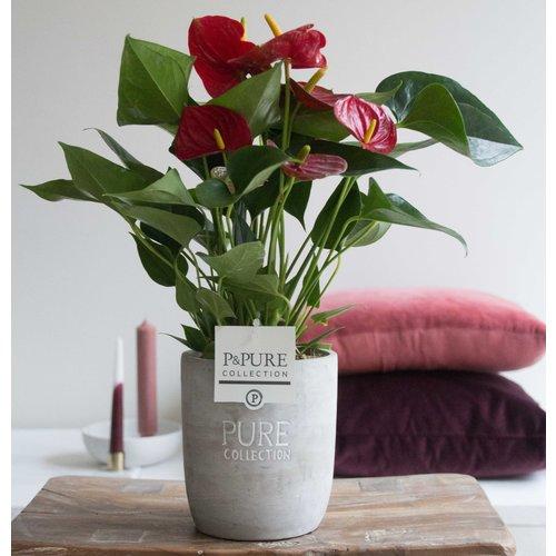 Flamingoblume 'Rot' mit Keramik Topf