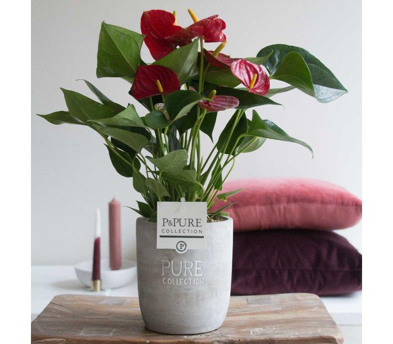 Flamingoblume 'Rot'mit Keramik Topf