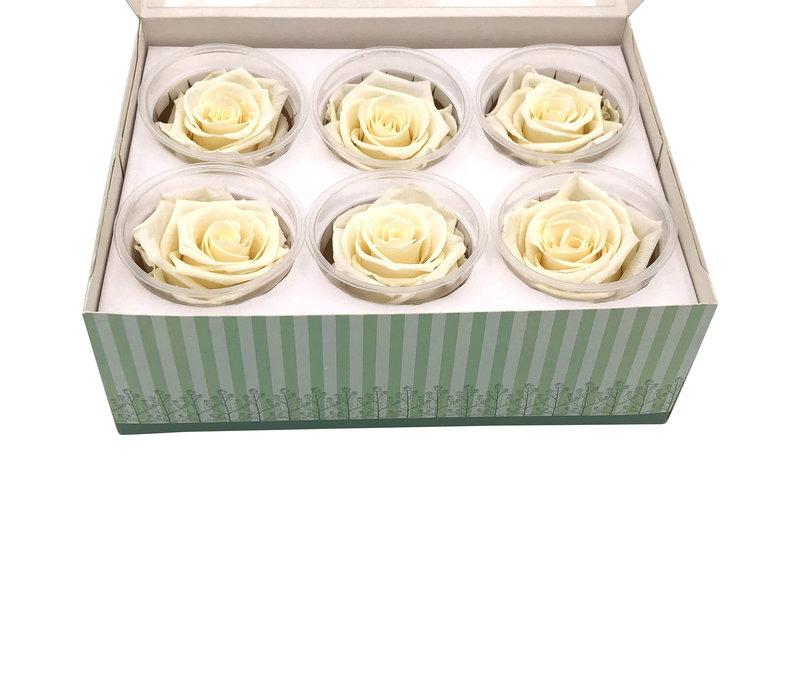 6 Konservierte Rosen Champagner