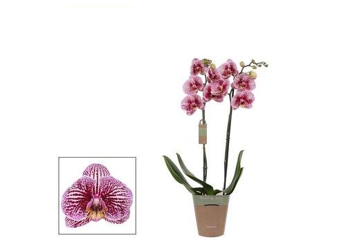 Phalaenopsis Black Stripes , 2-Trieber