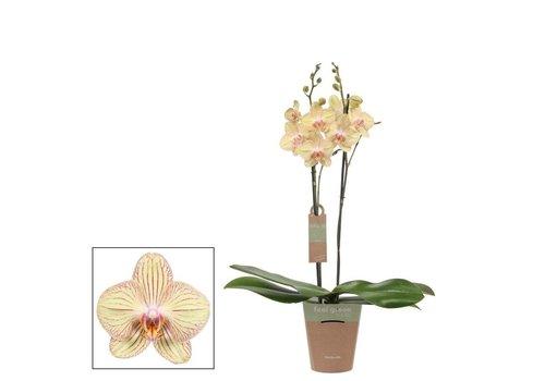 Phalaenopsis Anthura Torino  , 2-Trieber