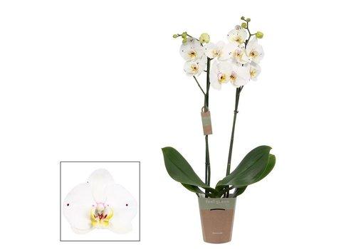 Phalaenopsis Anthura Lisboa , 2-Trieber