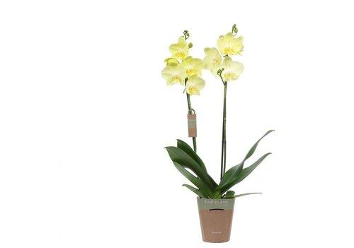 Phalaenopsis Minion  , 2-Trieber