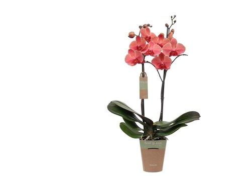 Phalaenopsis Narbonne , 2-Trieber