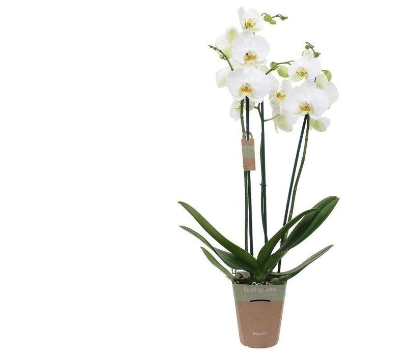 Phalaenopsis White bigflower , 3-Trieber