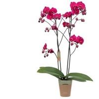Phalaenopsis Asian Queen, 2-Trieber