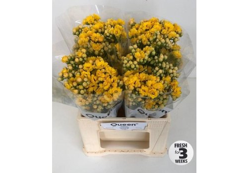 5 Stiele Kalanchoe 'Smiling Yellow Meadow'
