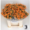 5 Stiele Kalanchoe 'Smooth Orange Meadow'