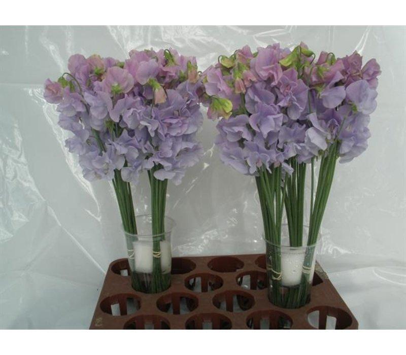 10 Wicken  'Winter Sunshine Lavender'