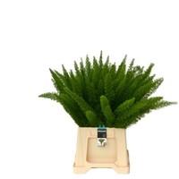 10 Stiele Asparagus Dens Myers