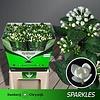 """10 Stiele Bouvardia  """"Diamond Sparkles"""""""
