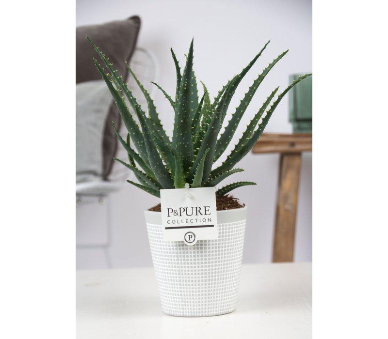 Aloe Arborescens Pure Collection