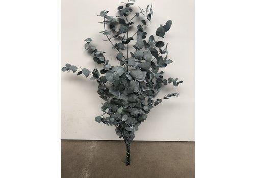 Eucalyptus Cinerea stabilisiert