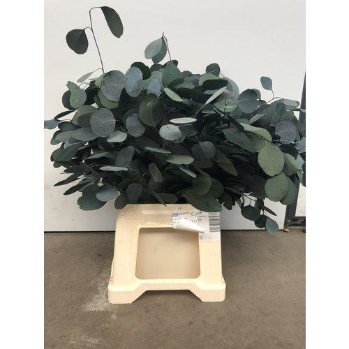 Eucalyptus Popolus stabilisiert
