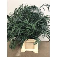Eucalyptus Nicoli stabilisierte präparierte echte Blätter