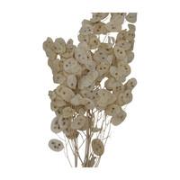 Lunaria Semi Pro Bund Getrocknet und gebleicht