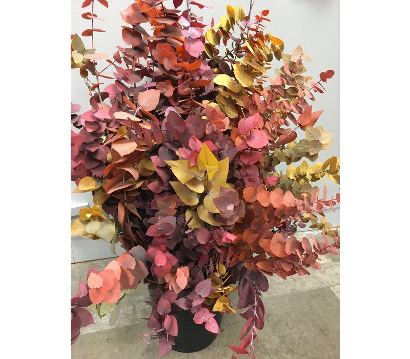Eucalyptus Cinerea Herbst stabilisiert präparierte echte Blätter