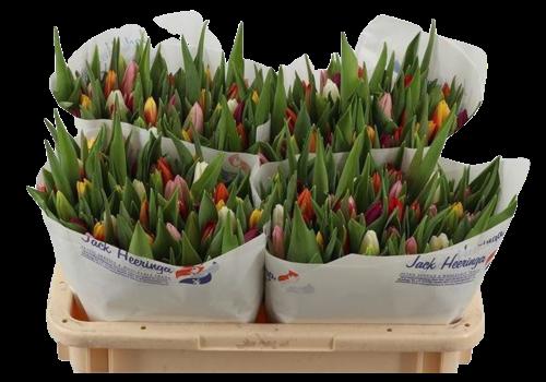 50 Tulpen gemischt (einfach)